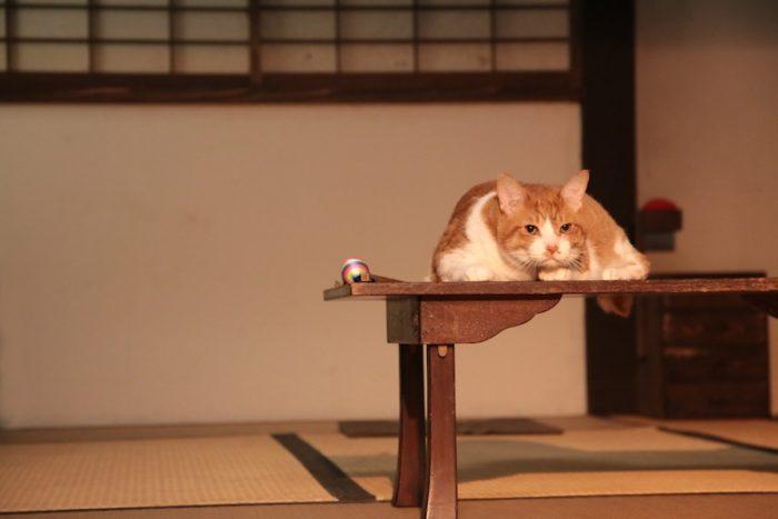 アイドル猫の愛らしい写真公開!『猫侍』スタッフが送る『猫忍』主演・金時の魅力とは? #猫 fi161213_nekonin_29-700x467