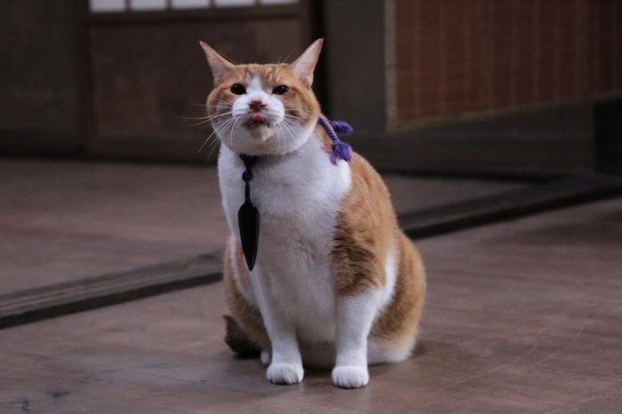 アイドル猫の愛らしい写真公開!『猫侍』スタッフが送る『猫忍』主演・金時の魅力とは? #猫 fi161213_nekonin_31-700x467
