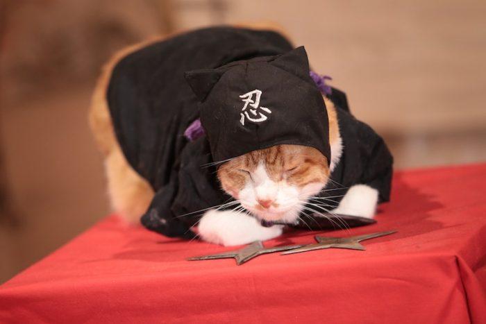アイドル猫の愛らしい写真公開!『猫侍』スタッフが送る『猫忍』主演・金時の魅力とは? #猫 fi161213_nekonin_41-700x467