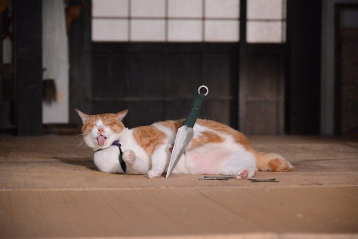 アイドル猫の愛らしい写真公開!『猫侍』スタッフが送る『猫忍』主演・金時の魅力とは? #猫 fi161213_nekonin_6-700x468