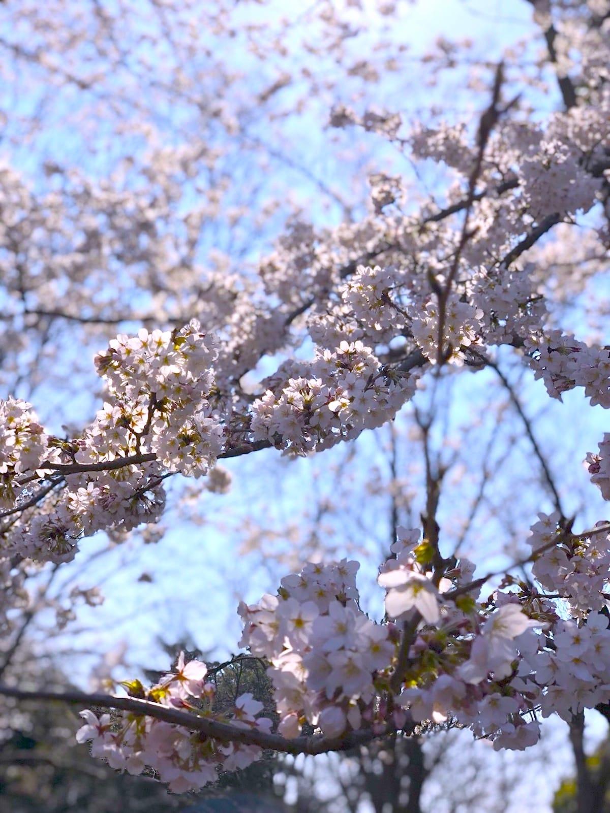 【調査ダヨ!】春が来た!みんながお花見で聴きたい音楽は? art_culture180328_hanami_songs_52-1200x1601